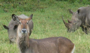 Waterbuck in the African Wilderness