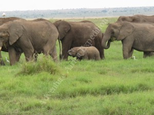 Elephants Family Maasai Mara