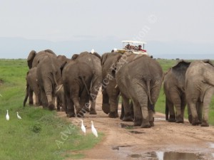 Samburu Elephants Herd