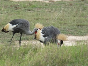 Crown Crane Feeding in Samburu Game Reserve