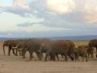 Amboseli Herds Of Samburu Elephants
