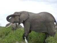 Tarangire Elephants In River Side