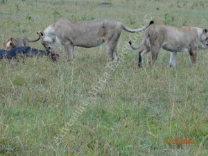 Lion Family in Serengeti