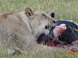 Lion in Masai Mara at a Meal