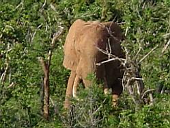 Elephant in Park
